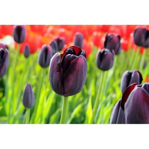 Bio tulp Queen of Night 7 bollen - afbeelding 2